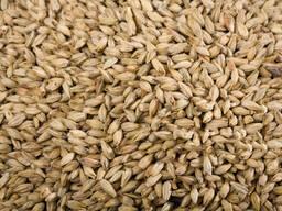 Barley /大麦
