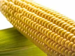 Кукуруза , пшеница , мука поставки в Китай , Вьетнам