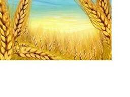 Пшеница 3-4 класс, ячмень, зерновые