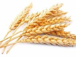 Пшеница протеин 12,5%