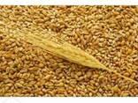 Пшеницу 4-5 класс - фото 1