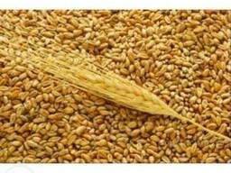Пшеницу 4-5 класс