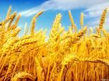 Семена Канадские Сои, Кукурузы, Подсолнуха, Рапса, Пшеницы, Ячмен - фото 1