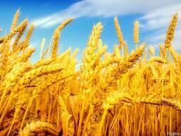 Семена Канадские Сои, Кукурузы, Подсолнуха, Рапса, Пшеницы, Ячмен